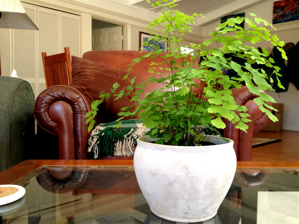 This maidenhair fern found a home in a favorite pot. It is part of my well, nourishing my soul.