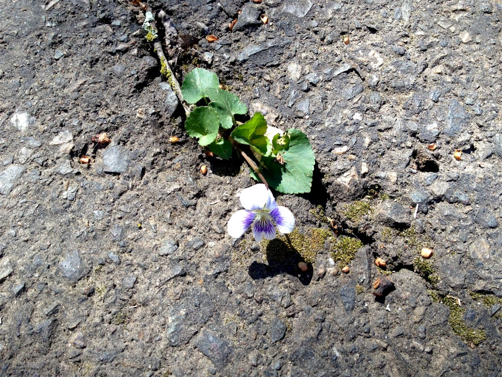 This tiny violet emerging from the old concrete spoke so eloquently of this moment. Nature's way of speaking surpasses any words I have. I bow to her wisdom and accept her gift of love.
