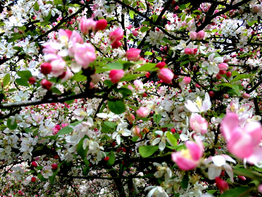 The cheery blossoms with their pink and green hues.