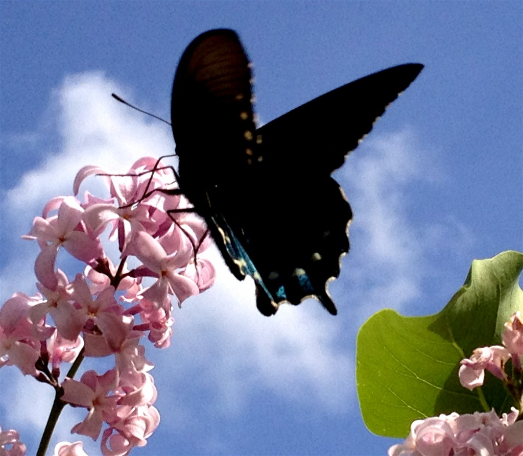 A butterfly that was taking its morning drink as i was cutting a lilac bouquet.