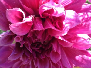 The biggest pink dahlia I had ever seen! Our hearts are growing more expansive every day!