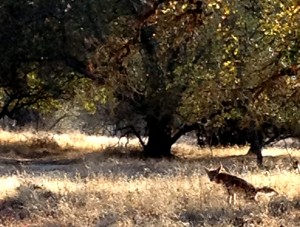 A bit of surprise magic as this coyote came trotting along the path in front of us.
