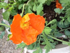 Orange poppies lighting up my life.