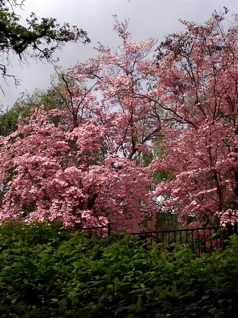 This pink dogwood tree in blossom literally stopped me in my tracks on a recent walk in nature. Pink love!
