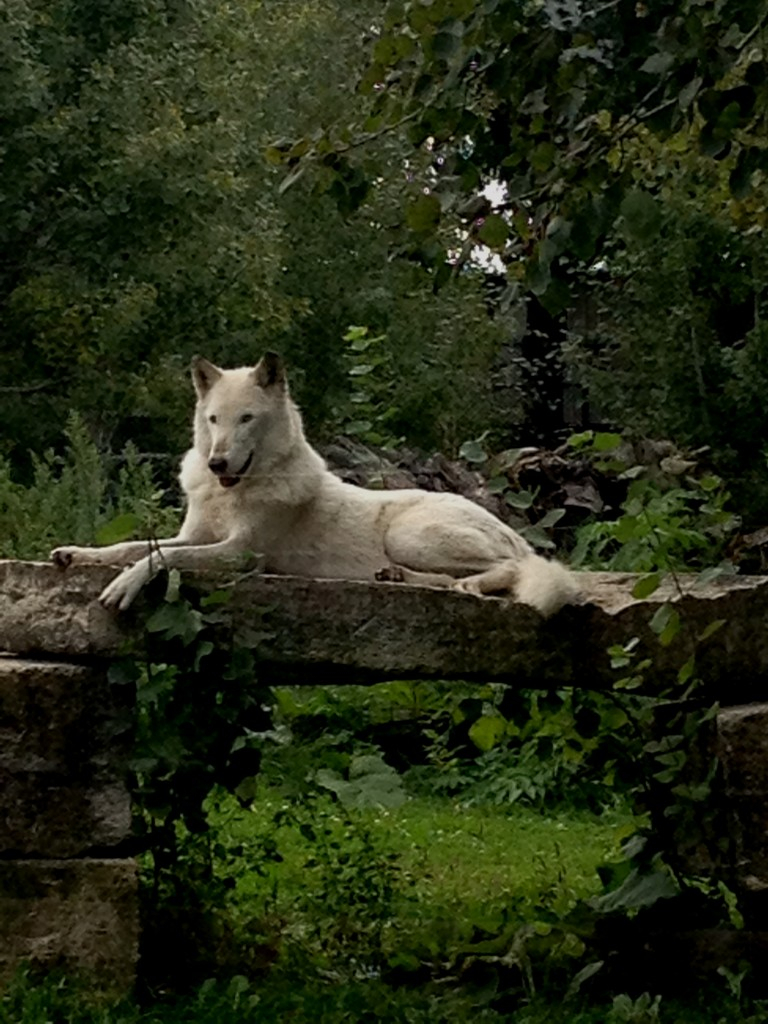 This wolf was in a zoo for injured animals that could no longer survive in the wild. I loved his majesty.