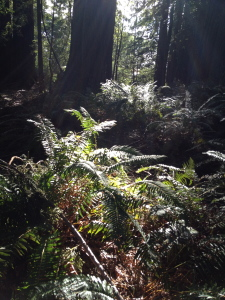 The light illuminating the ferns, bringing out their rich greenness. Allowing myself to be illuminated or shadowed as the Sun of my being desires.