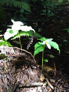 The sunlight, a spotlight for these fragile beauties rising from the dark forest floor.