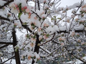 Blossoms frozen