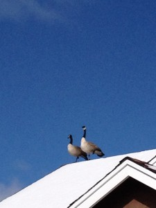 Geese moved to the rooftop as we left the meadow.