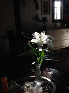 The morning sun streams in to spotlight this lily each day, filling me with wonder.