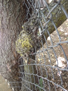This tree did not resist the fence, it simply enveloped it.