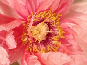 The beauty of the peonies has intoxicated me.