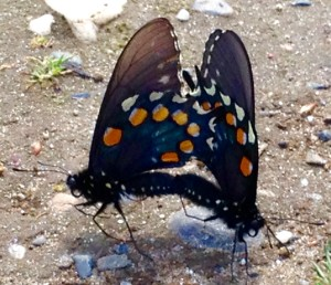 Butterflies were mating all around me on my walk.