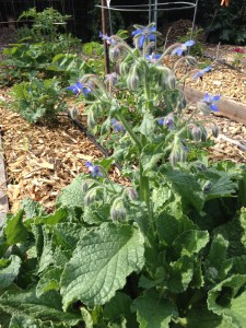 The borage offering its brilliant blue flowers for my salads.