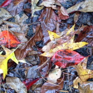 The leaves letting go of their vibrant colors to become the duff of the forest floor.