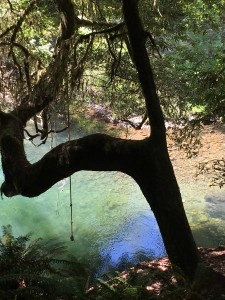 A rope swing in the redwoods, awaiting summer swims.