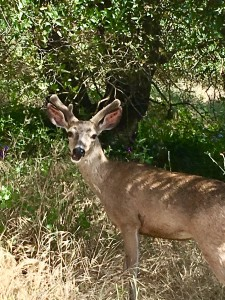 On my walk, I came around a corner and almost collided with this deer. We both paused in a moment of connection.