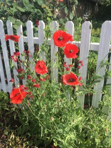 Red poppies and a white picket fence....joyful combo.