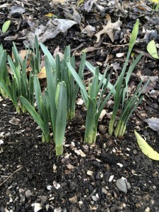 Daffodils are poking up and some are beginning to form buds. Nature showing me where I am at.